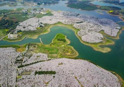 全球最大的樱花基地!不在日本,在中国!