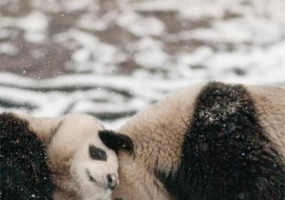 大熊猫国家公园,长什么样?